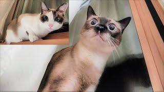 雨嵐が気になって窓際に来てウロウロするうちの猫 笑