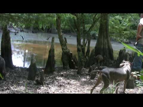 Hog Hunting In Arkansas III