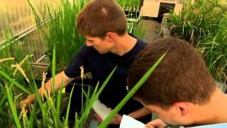 Seeking salt-tolerant rice genes