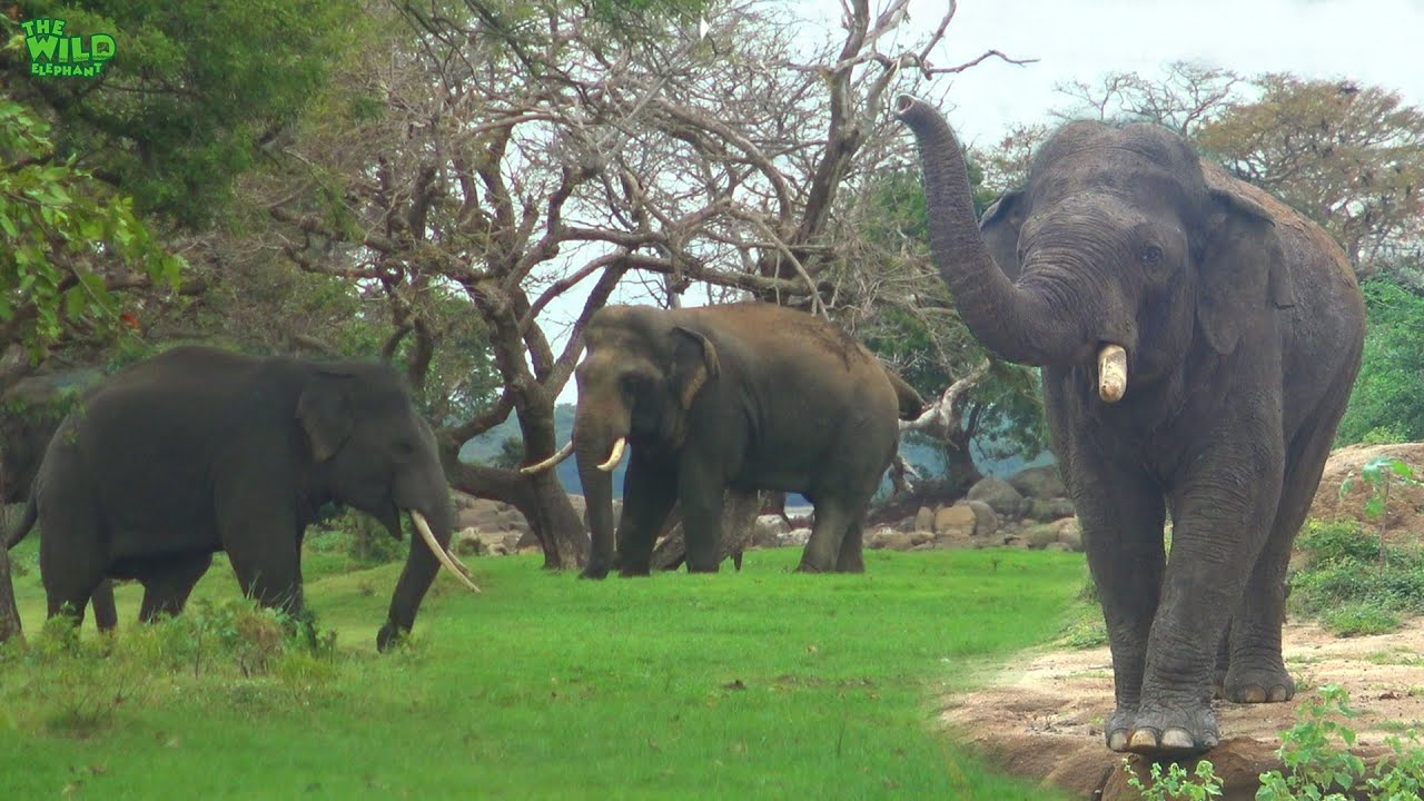 A Beautiful Scene of Young Tuskers with an Elephant Herd