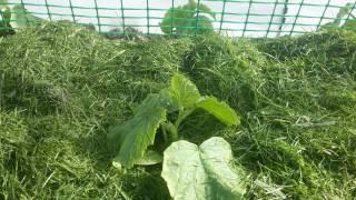 Мульчирование скошенной газонной травой