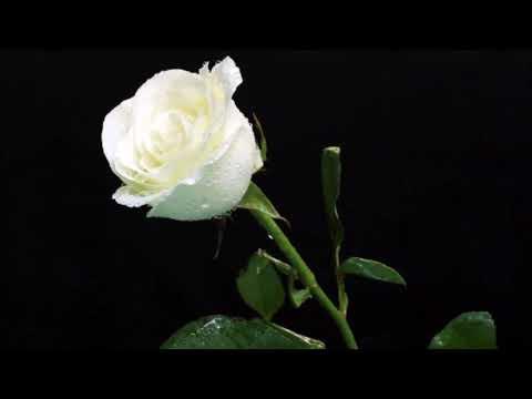 Una Rosa Blanca Los Marismeños Youtube