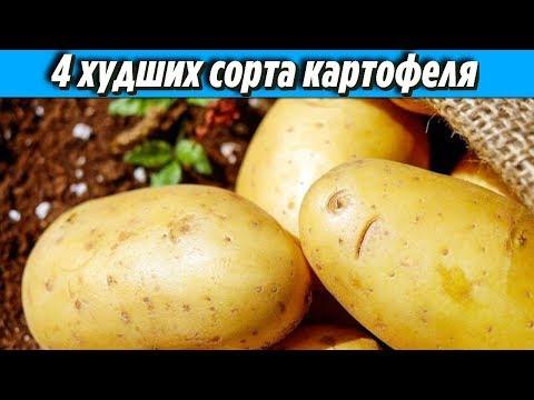Не советую тратить на этот картофель лишнее время Топ 4 худших сорта картофеля Дачные Советы