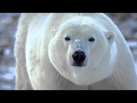 Polar Bears of Hudson Bay