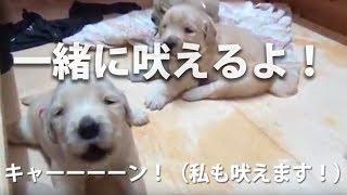 【生後16日】母犬を呼ぶときの仔犬の遠吠えを真似してたら、なんと私に...