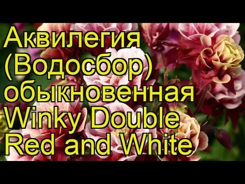 Аквилегия обыкновенная Винки дабл ред энд вайт. Обзор aquilegia vulgaris Winky Double Red and White