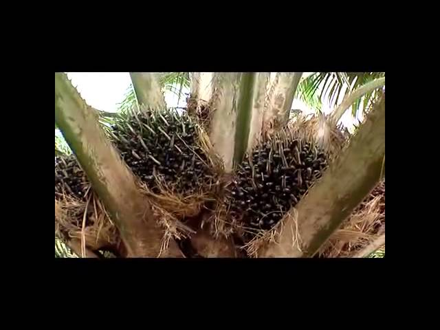 Wonder Oil Palm Tree