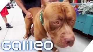 Der größte Pitbull der Welt | Galileo | ProSieben