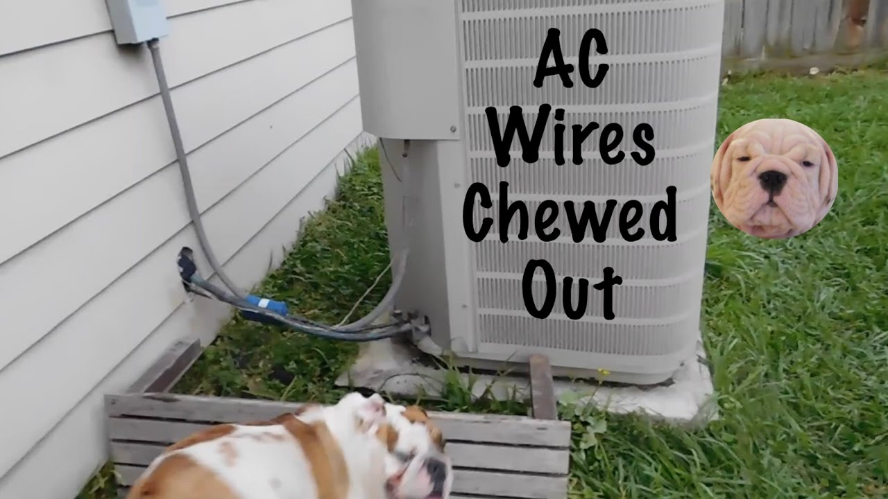 English Bulldogs Destroy AC Unit - YouTube
