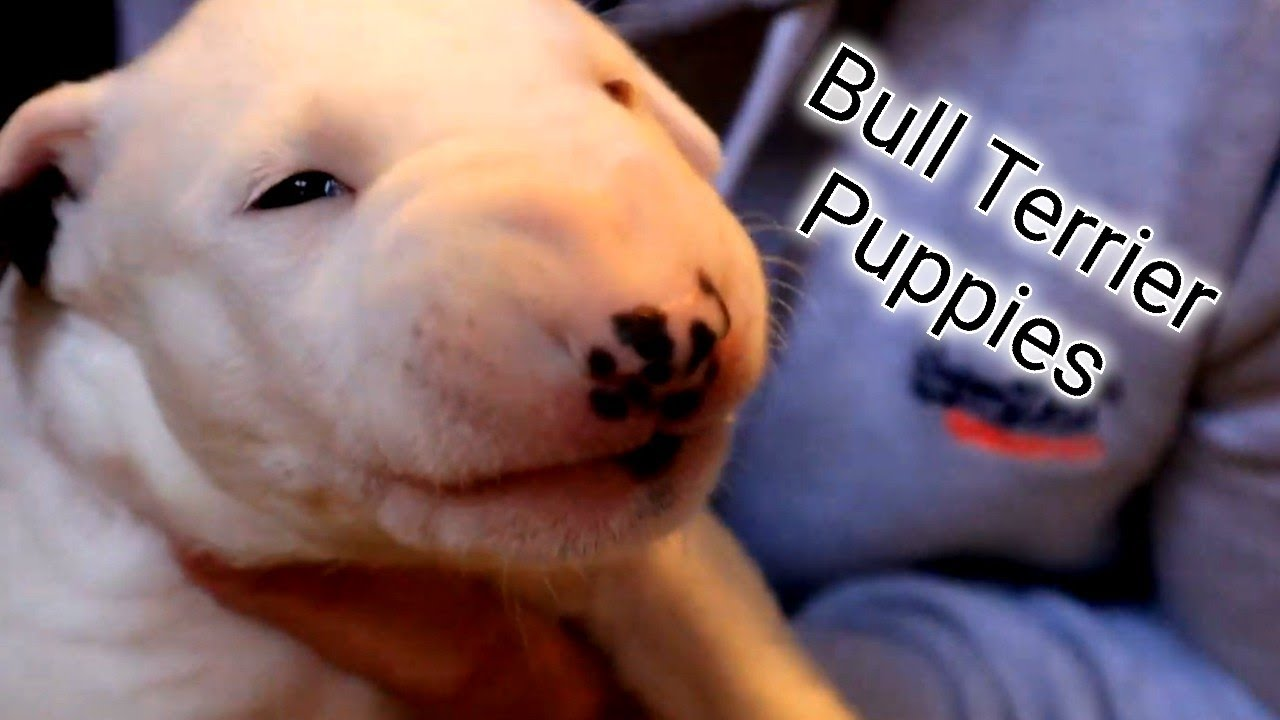 Cute bull terrier puppies - big and chunky puppies :)