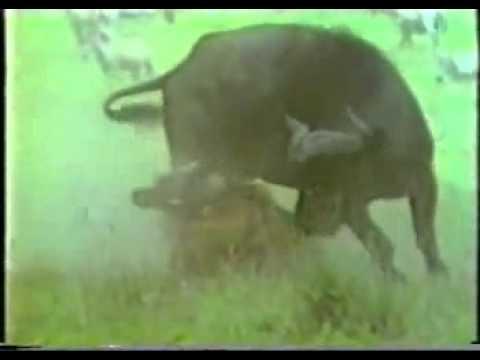 Trâu mẹ đánh gục sư tử cứu con - www.SimDepDongNai.com - Bán sim VIP.flv