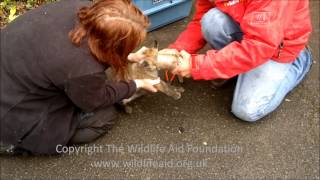 Fox cub with his head stuck in a tin can - rescue release!