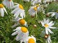Цветы для вас ромашка садовая с каплями дождя красивая музыка для души mp3