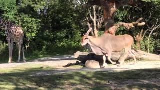 天王寺動物園、アフリカサバンナにいるシマウマとキリン、エランドたち...