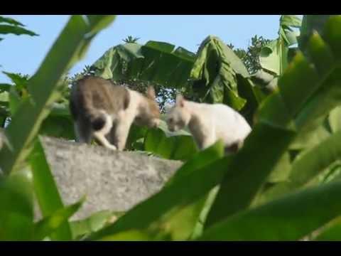 Kucing Garong Kelahi di atas pagar