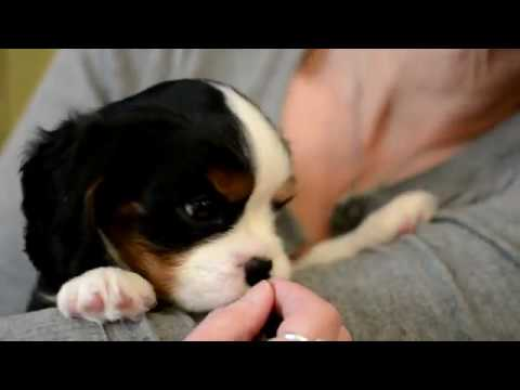 Playful Cavalier King Charles Spaniel Puppy For Sale