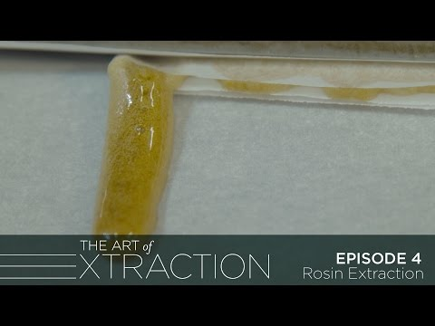 Rosin Extraction at Pioneer Nuggets: The Art of Extraction with Roxy Striar