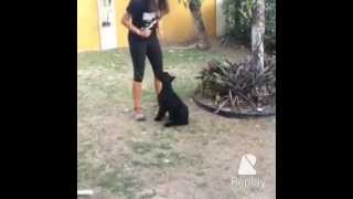 This Video Previously Contained A Copyrighted Audio Track. Due To A Claim By A Copyright Holder, The Audio Track Has Been Muted.     Giant Schnauzer Puppy Training - 13 Weeks Old