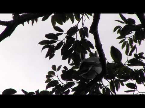 Tityra semifasciata - Masked Tityra