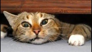 Приколы домашних животных - послушный кот