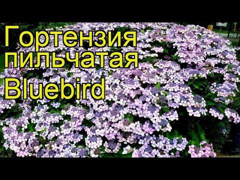 Гортензия пильчатая Bluebird. Краткий обзор, описание характеристик, где купить саженцы