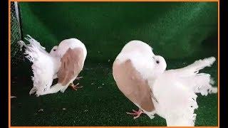 Süs Güvercinleri - Sarı Kapaklı Sepet Kuyruk Güvercin