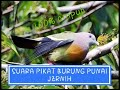 Suara Pikat Burung Punai  Ampuh  Mp3 - Mp4 Download