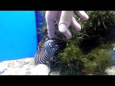 Getting bit by a Zebra moray eel (Gymnomuraena zebra)