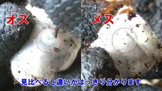 11月17日に捕まえたカブトムシの幼虫。彼らに幼虫マットで個別の寝...