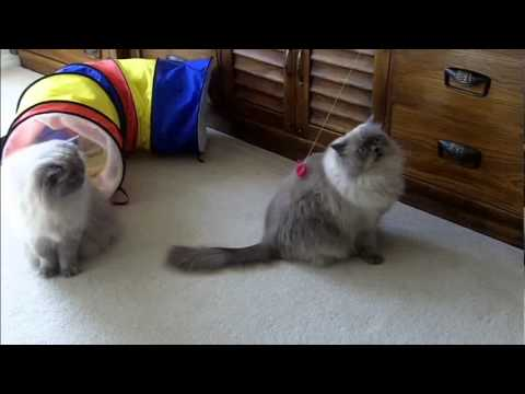 Little Girl & Sterling - Blue Point Doll Face Himalayan Persian Cats