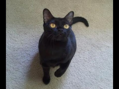 13 Bombay Cat Facts