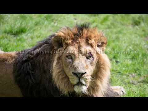 Pack of Lions Eat Suspected Poacher in South Africa