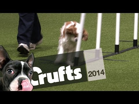Super Cute Doggy Fail -  Runs Into Pole | Crufts 2014