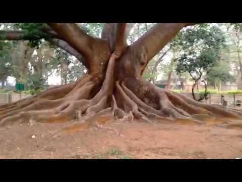 White Silk Cotton tree at Lalbagh, Bengaluru