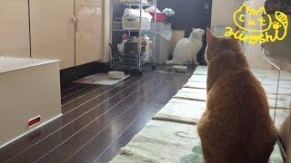 兄猫チロを心配して近寄ってきたのかと思いきや この後ろ姿…餌を狙って...