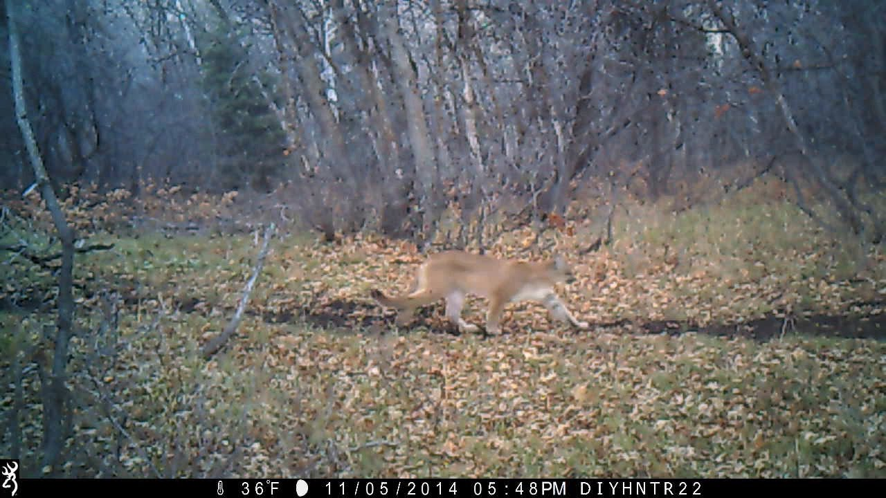Mountain Lion on Browning Trail Cameras - YouTube