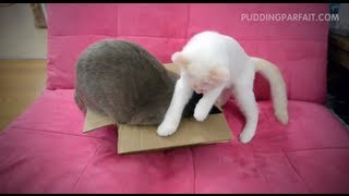 Cute Scottish Fold Cats Pudding & Parfait Box Stealing Thumbnail