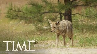 Trump Admin. Authorizes 'Cyanide Bombs' To Kill Predators Again, Months After Backlash | TIME
