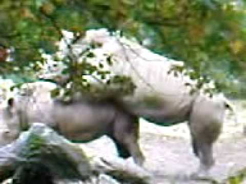 elefant fick nashorn video