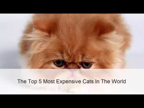 The Top 5 Most Expensive Cats In The World