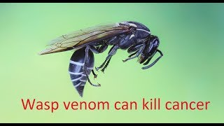 Wasp's venom kills cancer cells without harming normal cells