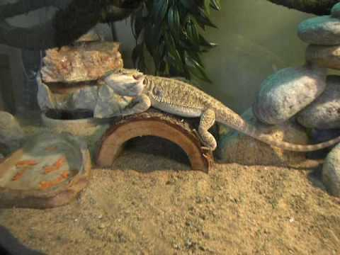 Bearded Dragon Tank Youtube