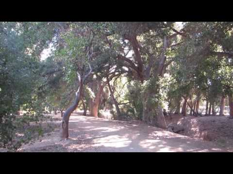 Valley Oak Trees