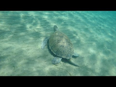 GIANT SEA TURTLES Swimming, Dive In Limassol