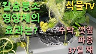 잎 끝이 탄다.. 영양제 효과는?3편 [수경재배:깻잎과…