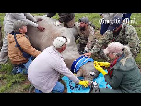 The infusion method of a toxin and dye into the Rhino horns