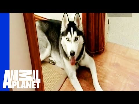All Bark and Hopefully No Bite | Cesar 911 from YouTube · Duration:  2 minutes 52 seconds