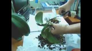 Пересадка орхидеи Фаленопсис(Как правильно пересаживать орхидею Фаленопсис., 2015-09-11T11:41:37.000Z)