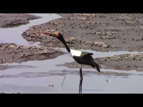 Saddle-Bill Stork swallowing Eel, Kruger National Park