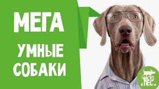 НУ ОЧЕНЬ умные собаки Смешные видео про умных собак